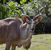 Greater kudu 1 Royalty Free Stock Photos