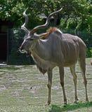 Greater kudu 2 Royalty Free Stock Photos