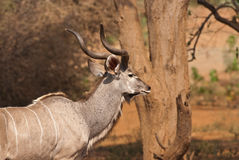 Greater Kudu Royalty Free Stock Image