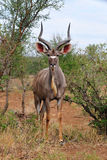 Greater Kudu Male (Tragelaphus strepsiceros) Royalty Free Stock Images