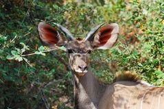 Greater Kudu Male (Tragelaphus strepsiceros) Stock Image