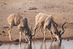 Greater kudu males drinking Stock Photos