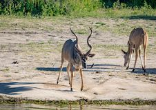 Greater Kudu males at the river Chobe in Botswana. During summer stock images