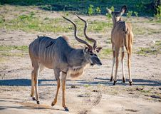 Greater Kudu males at the river Chobe in Botswana. During summer royalty free stock photography