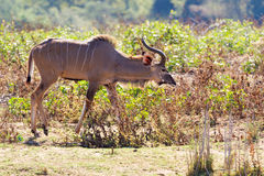 Greater Kudu Noses Ahead. A young male Greater Kudu Tragelaphus strepsiceros walks through the savanna in Kruger National Park in South Africa Royalty Free Stock Photos