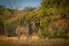 Greater Kudu. Pair of Greater Kudu in reserve of Botswana Royalty Free Stock Image