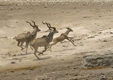 Greater Kudu running from a waterhole. Three Greater Kudu running away from a waterhole in a desert landscape. Photo taken in Etosha National Park in Namibia Royalty Free Stock Photo