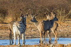 Greater Kudu and solitary Zebra Royalty Free Stock Photos