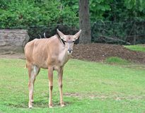 A Greater Kudu standing on the green grass. With tree background Royalty Free Stock Images