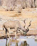 Greater kudu stops to drink royalty free stock photo