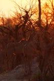 Greater Kudu Sunset Safari Stock Photos