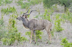 Greater kudu Tanzania Stock Photos