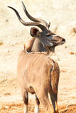 Greater Kudu. (Tragelaphus Strepsceros)  on the banks of the Chobe river between Botswana and Namibia in Southern Africa Royalty Free Stock Photo