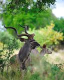 Greater Kudu (Tragelaphus strepsiceros). Greater Kudu male and female in the African bush (South Africa Stock Image