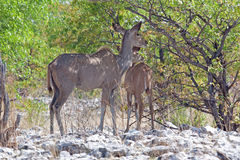 Greater Kudu (Tragelaphus strepsiceros) Royalty Free Stock Photo