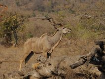 Greater Kudu (Tragelaphus strepsiceros) Stock Photography