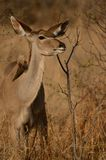Greater Kudu (Tragelaphus strepsiceros). This is a female kudu Royalty Free Stock Images