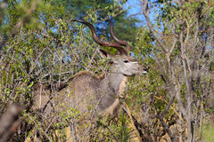 Greater kudu Tragelaphus strepsiceros Africa safari wildlife and wilderness. Big male of greater kudu Tragelaphus strepsiceros, Caprivi strip game park, Nambwa Stock Photos