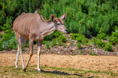 Greater kudu or Tragelaphus strepsiceros Stock Image