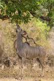 Greater Kudu (Tragelaphus strepsiceros) browsing. Leaves overhead Royalty Free Stock Photo