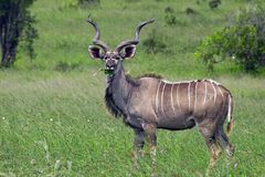Greater kudu (Tragelaphus strepsiceros) Stock Photo