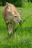 Greater Kudu - Tragelaphus strepsiceros. Native of Africa, a captive female Greater Kudu grazes on a leafy snack at the zoo. Toronto, Ontario, Canada Stock Photos