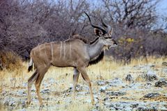 Greater kudu, Tragelaphus strepsiceros in the Etosha National Park, Namibia Royalty Free Stock Image