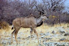 Greater kudu, Tragelaphus strepsiceros in the Etosha National Park, Namibia Royalty Free Stock Image