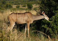 Greater kudu, Tragelaphus strepsiceros, female browsing Stock Photography
