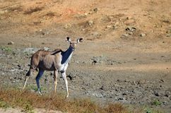 Greater kudu (Tragelaphus strepsiceros). Stock Photo