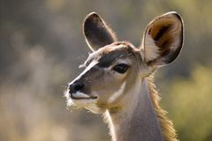 Greater kudu (Tragelaphus strepsiceros)(Female) Stock Images