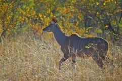 Greater kudu (Tragelaphus strepsiceros)(Female) Royalty Free Stock Photo