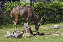 Greater Kudu - Tragelaphus Strepsiceros Stock Photo