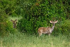 Greater Kudu - Tragelaphus strepsiceros. Large striped antelope from African savanna, Taita Hills reserve, Kenya Royalty Free Stock Photography