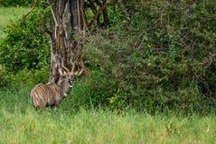 Greater Kudu - Tragelaphus strepsiceros. Large striped antelope from African savanna, Taita Hills reserve, Kenya Stock Photography