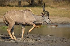 Greater kudu (Tragelaphus strepsiceros) Royalty Free Stock Photos