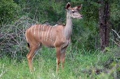 Greater kudu (Tragelaphus strepsiceros) Stock Images