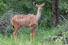 Greater kudu (Tragelaphus strepsiceros) Royalty Free Stock Photography