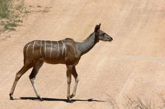 Greater kudu (Tragelaphus strepsiceros) Royalty Free Stock Images