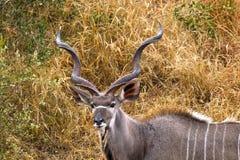 Greater kudu (Tragelaphus strepsiceros) Royalty Free Stock Image