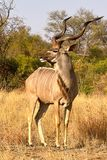 Greater kudu (Tragelaphus strepsiceros) Stock Photos