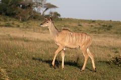 Greater kudu, Tragelaphus strepsiceros. Single female, South Africa, August 2016 Stock Image