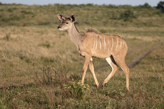 Greater kudu, Tragelaphus strepsiceros Stock Photography