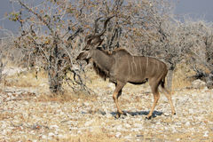Greater kudu, Tragelaphus strepsiceros. Single male, South Africa, August 2016 Stock Image