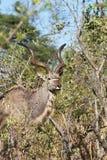 Greater kudu, Tragelaphus strepsiceros,  at the waterhole Bwabwata, Namibia Royalty Free Stock Photo