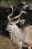 Greater kudu (Tragelaphus strepsiceros). Stock Images