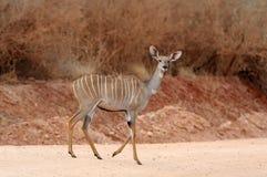 Greater kudu (Tragelaphus strepsiceros). Wild life animal of Africa Stock Image