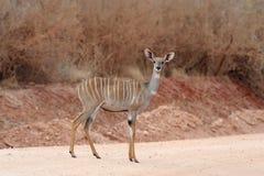 Greater kudu Tragelaphus strepsiceros. Wild life animal of Africa Stock Image