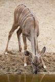 Greater kudu Tragelaphus strepsiceros. Wildlife animal Royalty Free Stock Image