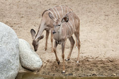 Greater kudu Tragelaphus strepsiceros. Royalty Free Stock Photography